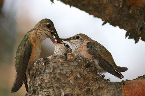 A female calliope hummingbird feeding her chicks (Photo: Wikimedia Commons)